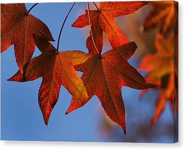 Canvas Print featuring the photograph Maple Leaves In The Fall by Stephen Anderson