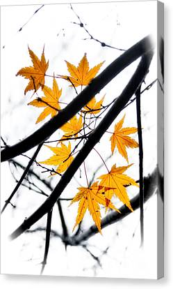 Canvas Print featuring the photograph Maple Leaves by Jonathan Nguyen