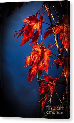 Maple Leaves Shadows Canvas Print by Robert Bales