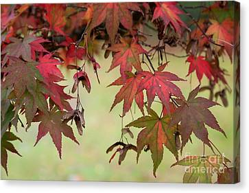 Maple Leaves  Canvas Print by Tracy  Hall