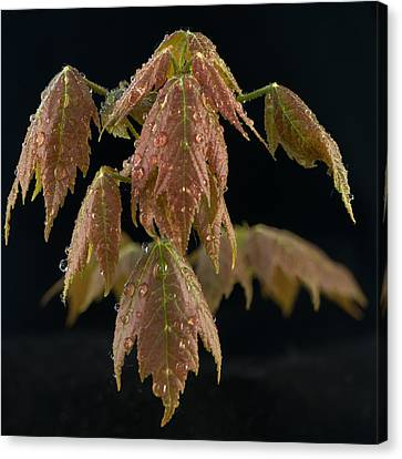 Maple Leaves With Water Drops Canvas Print by Paul Freidlund
