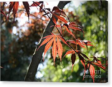 Canvas Print featuring the photograph Maple On Pine by Paul Cammarata