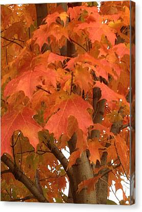 Maple Orange Canvas Print by Pema Hou