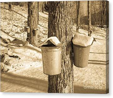 Maple Sap Buckets Canvas Print
