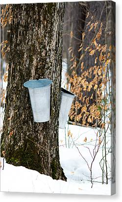 Maple Sap Collection Canvas Print by Cheryl Baxter