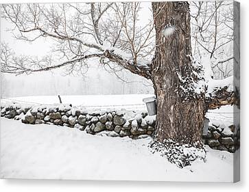 Maple Sugaring Canvas Print by Robert Clifford