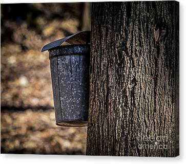 Maple Syrup Time Collecting Sap Canvas Print