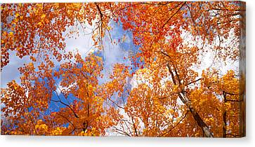 Maple Trees In Autumn, Vermont, Usa Canvas Print by Panoramic Images