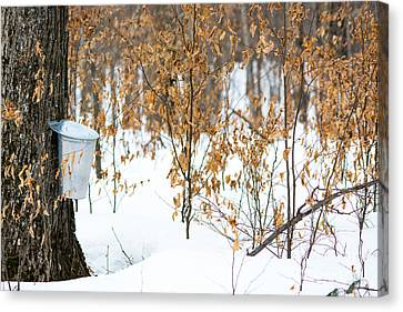Maple Woods Canvas Print by Cheryl Baxter