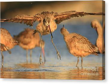 Canvas Print featuring the photograph Marbled Godwit  by John F Tsumas