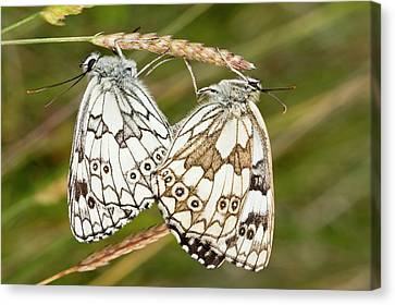 Serena Canvas Print - Marbled White Butterflies Mating by Bob Gibbons