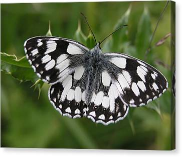 Marbled White Canvas Print by Ron Harpham