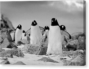 March Of Gentoo Penguins Pygoscelis Papua At Neko Harbour Continent Of Antarctica Canvas Print by Joe Fox