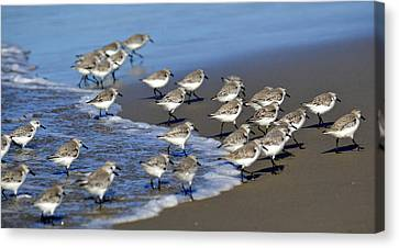 March Of The Sandpipers Canvas Print by Fraida Gutovich