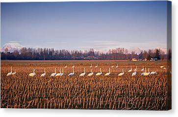 March Of The Swans Canvas Print by Mary Lee Dereske