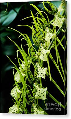 Canvas Print featuring the photograph Marching Orchids by Eva Kaufman