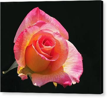 Mardi Gras Floribunda Rose Canvas Print by Rona Black