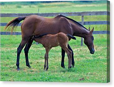 Mare And Foal Canvas Print by Gail Maloney