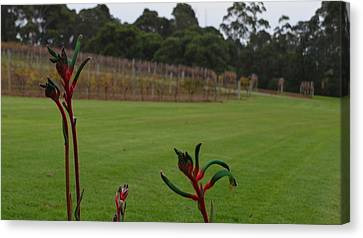 Margaret River Vineyard 1.2 Canvas Print by Cheryl Miller