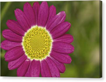 Marguerite Canvas Print