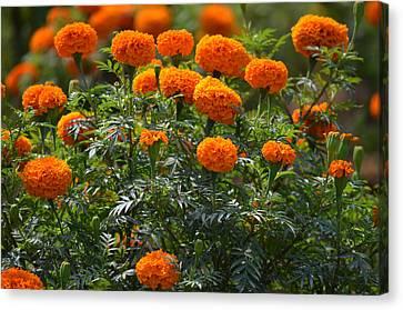 Marigold Flowers  Canvas Print by Johnson Moya