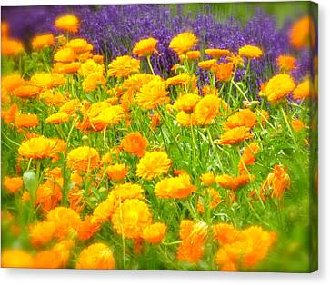 Marigolds And Lavender Canvas Print by John Colley