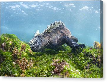Marine Iguana Feeding On Algae Punta Canvas Print by Tui De Roy
