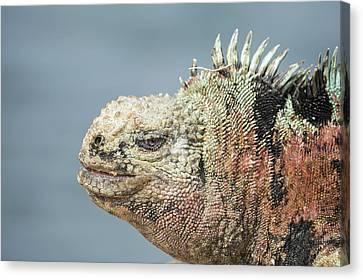 Marine Iguana Male In Breeding Colors Canvas Print