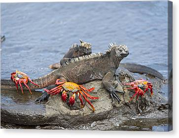 Marine Iguana Pair And Sally Lightfoot Canvas Print by Tui De Roy