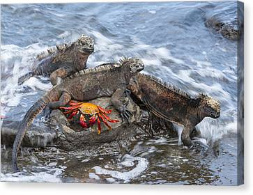 Marine Iguana Trio And Sally Lightfoot Canvas Print by Tui De Roy