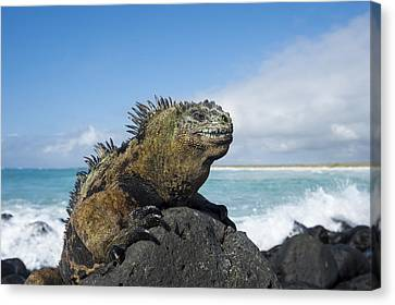 Marine Iguana Turtle Bay Santa Cruz Canvas Print by Tui De Roy