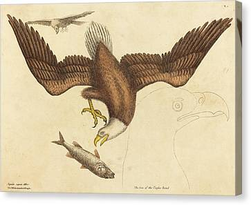 Mark Catesby English, 1679 - 1749, The Bald Eagle Falco Canvas Print by Quint Lox