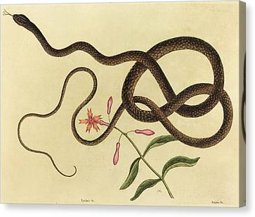 Whip-snake Canvas Print - Mark Catesby English, 1679 - 1749, The Coach-whip Snake by Quint Lox