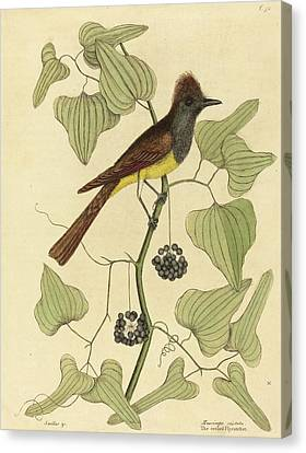 Mark Catesby English, 1679 - 1749, The Crested Flycatcher Canvas Print