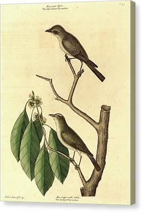 Mark Catesby,english, 1679-1749, The Little Brown Flycatcher Canvas Print