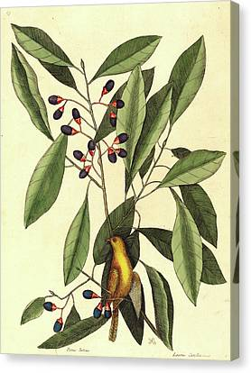Mark Catesby,english, 1679-1749, The Yellow Titmouse Canvas Print by Litz Collection