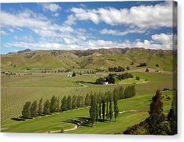 Grapevines Canvas Print - Marlborough Golf Club, Vineyard by David Wall