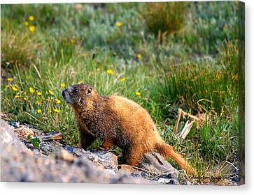 Marmot In Spring Canvas Print by Rebecca Adams