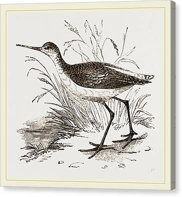 Marsh Sandpiper Canvas Print