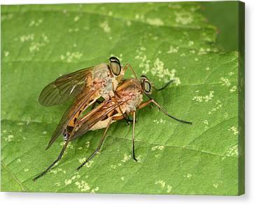 Marsh Snipeflies Canvas Print by Nigel Downer