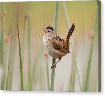 Marsh Wren Canvas Print by Doug Herr