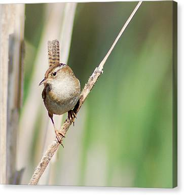 Canvas Print featuring the photograph Marsh Wren by Erin Kohlenberg