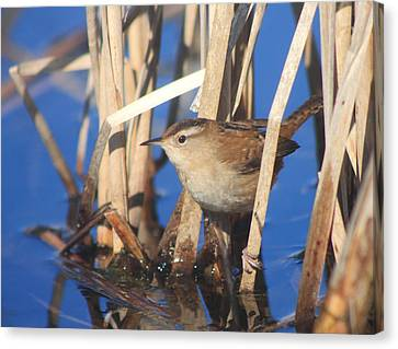 Marsh Wren Canvas Print by John Burk