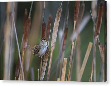 Marsh Wren Singing From A Cattail Canvas Print
