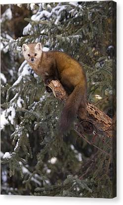 Marten Caught In Leg Trap On Hutinana Canvas Print by Matt Hage