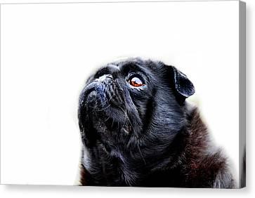 Pug Dog Canvas Print - Martha by Mark Rogan