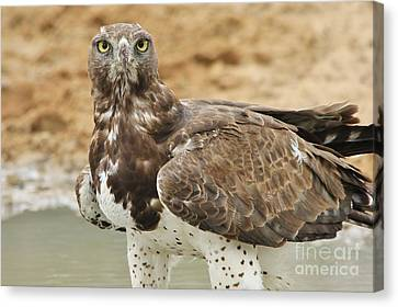 Martial Eagle - Yellow Focus Canvas Print