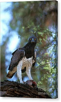 Martial Eagle Eats Dik Dik Canvas Print