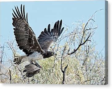 Martial Eagle In Flight With Prey Canvas Print by Tony Camacho