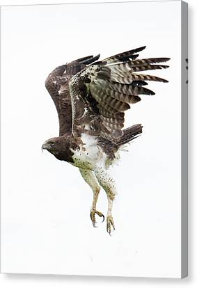Martial Eagle Polemaetus Bellicosus Canvas Print